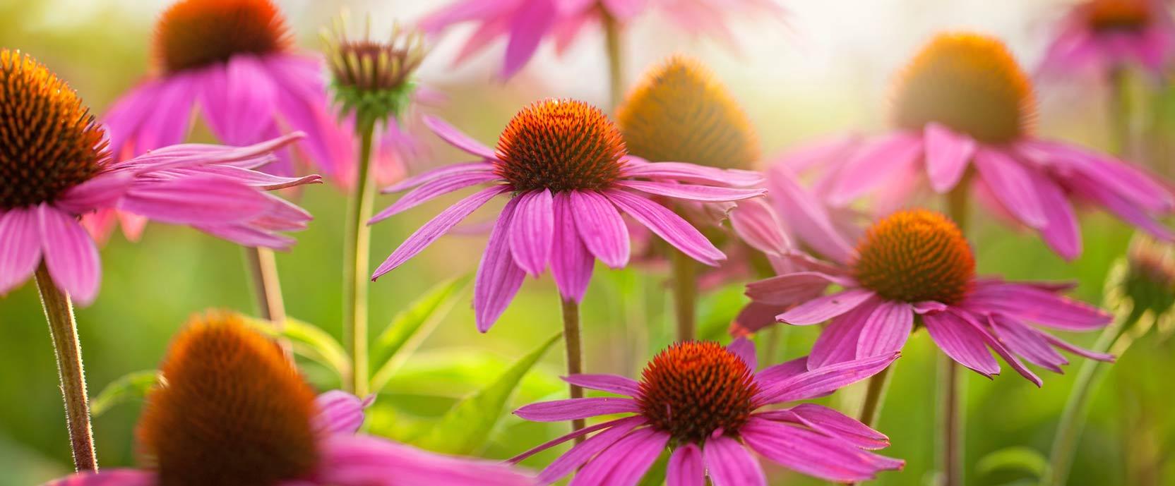 Rouge Soleil-Échinacée Purpurea