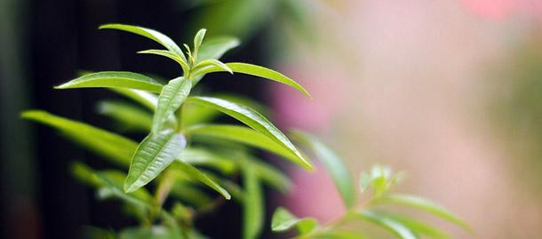 Zitronenverbene, Pflanze