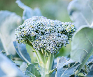 Le broccoli, une arme contre le cancer ?
