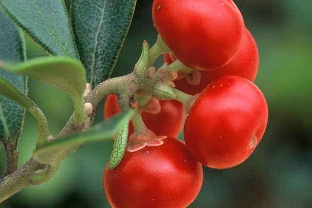 Raisin d'ours ou busserole (lat. Arctostaphylos uva-ursi)