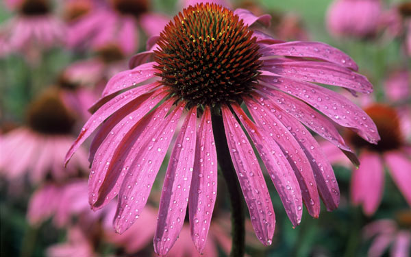 echinacea purpurea herkunft wirkung wissenschaft a vogel. Black Bedroom Furniture Sets. Home Design Ideas