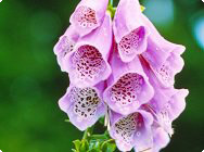 Rote Fingerhut (Digitalis purpurea)