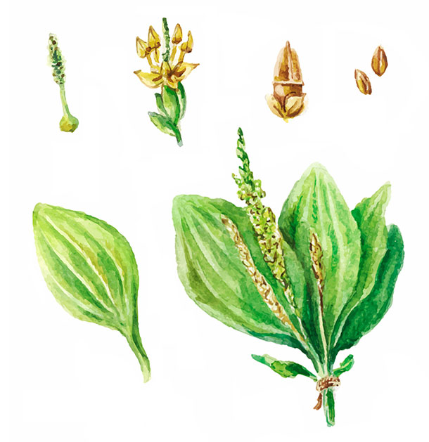 Illustration Aquarell: Breitwegerich, Plantago major (Foto: 123RF, Viktoriia Manuilova)