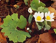 Sanguinaria canadiensis - Preparation