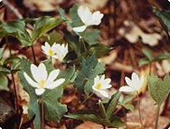 Sanguinaria canadiensis - Habitat