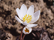 Sanguinaria canadiensis - Canadian bloodroot