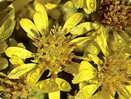 Solidago virgaurea L. - True Goldenrod