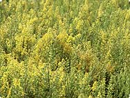 Solidago virgaurea L. - Processing Method